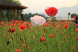 Poppy Flower Korea Semiwon Dumulmeori
