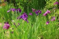 Iris Flowers Haeyeorim Gardens Korea