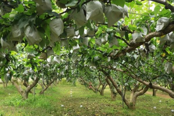 Pear orchard - Jinju Farm, Korea