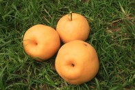 Pear harvest, Jinju Farm, Korea