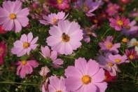 Cosmos flower close-up, Autumn days, Guri