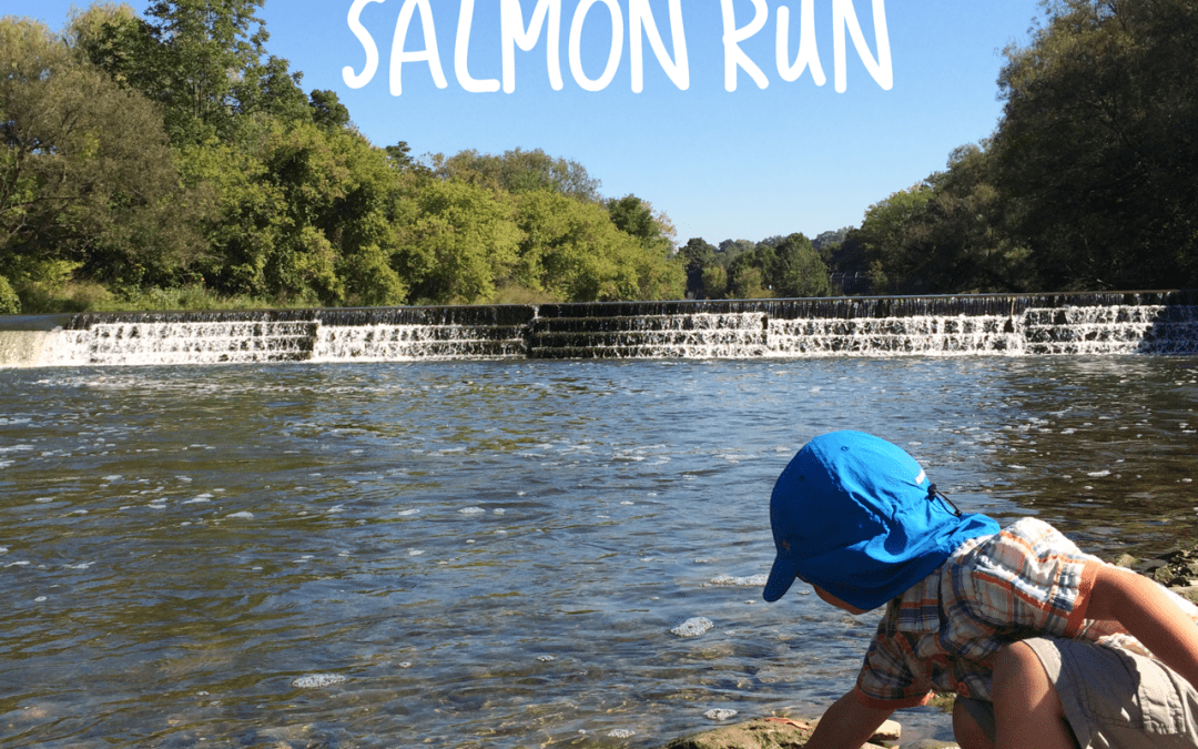 Watch the Salmon Run in Toronto