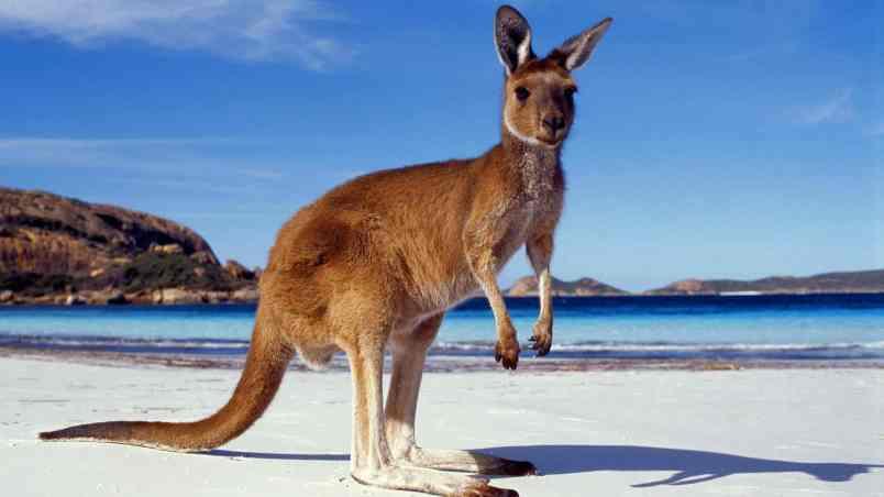 Kangaroo Facts, Worksheets, Habitat, Species & Diet For Kids