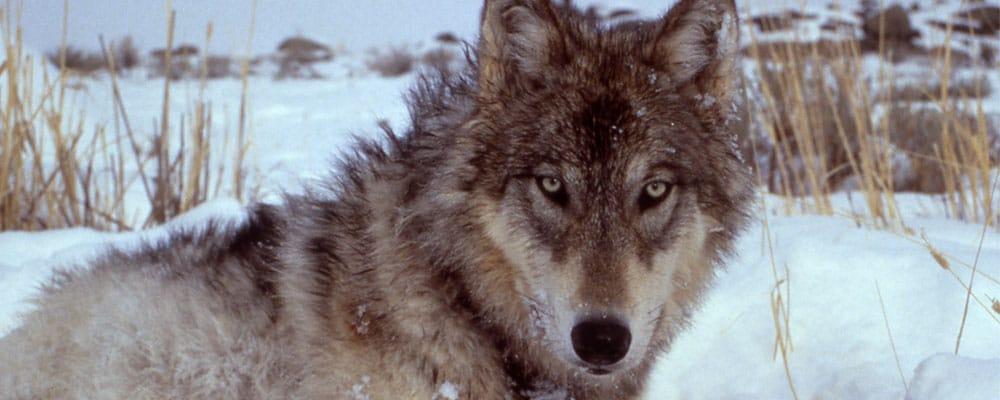Wolf Facts, Worksheets & Habitat Information For Kids