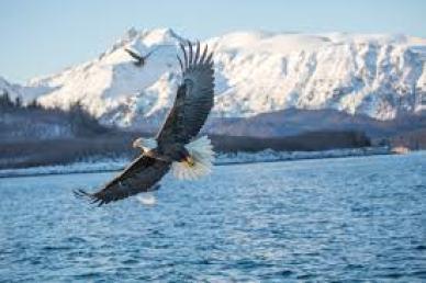 bald-eagle-facts