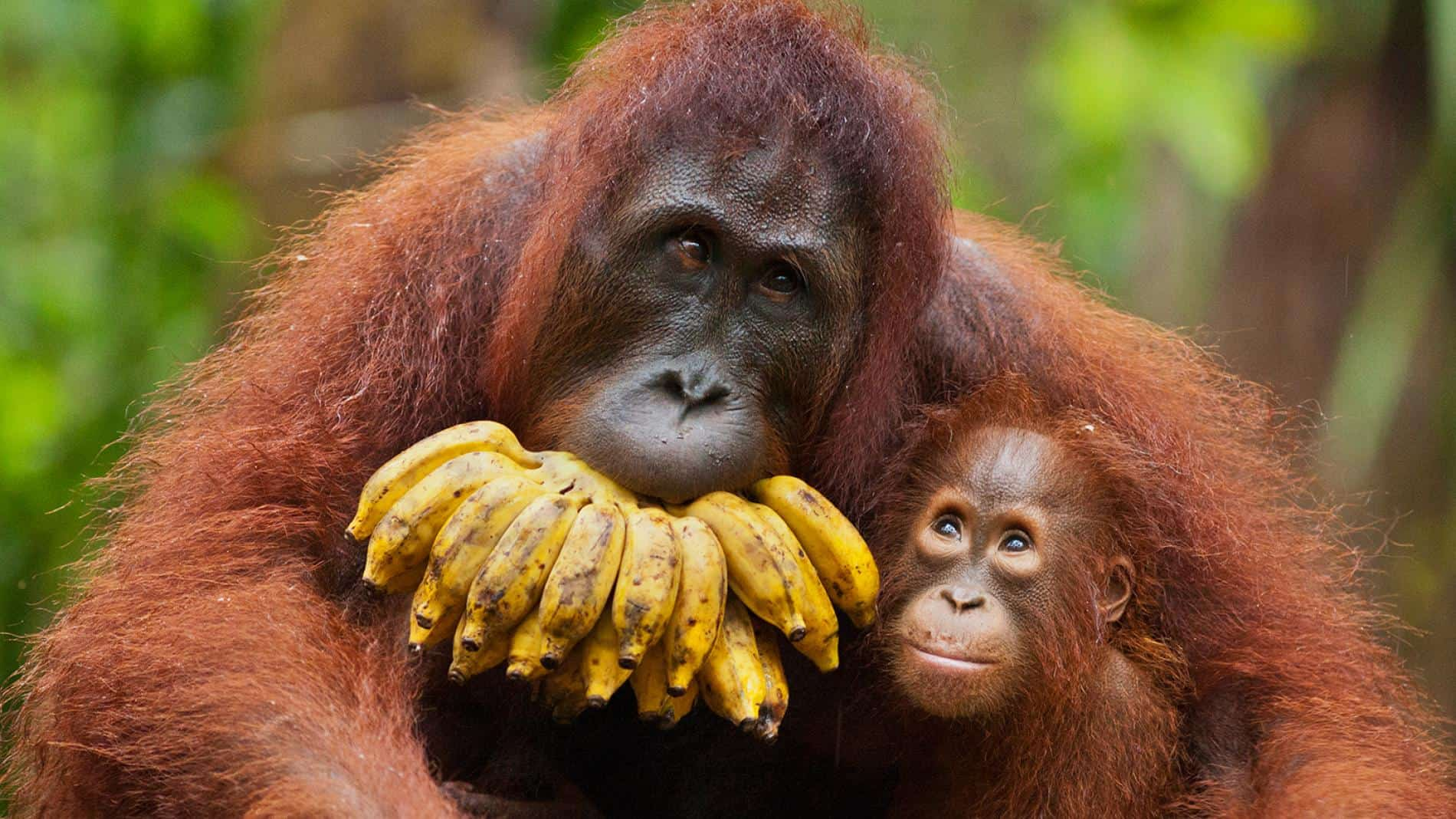Orangutan Facts Worksheets Habitat Anatomy And Life