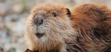 beavers-facts