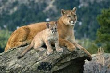 mountain-lion-facts