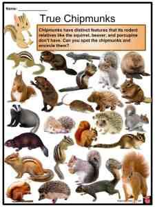 Chipmunk Facts, Worksheets, Diet, Species, Life & Ecology