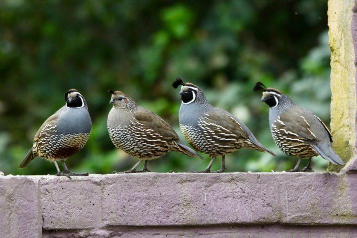 quail-facts