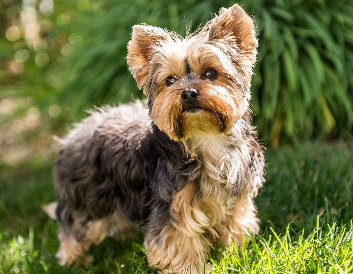 Yorkshire Terrier Facts Worksheets Origins Features