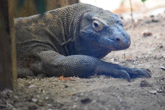 Komodo Dragon Facts, Worksheets, Habitat, Behavior & Diet ...