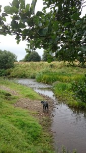 Image of black dog on pebble beach by river stream rushes with branch in foreground