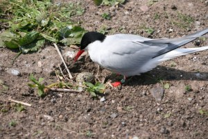 Image of arctic-tern-with-nest-and-egg-on-path