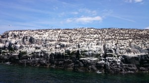 colony-of-nesting-razorbills-and-guillemots-farne-islands