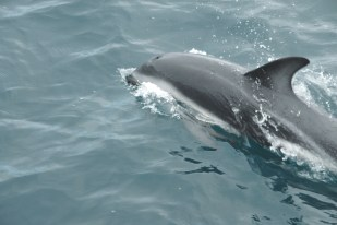 Image of common-dolphin-swimming in close-in wake of boat-in-sea-milford-sound