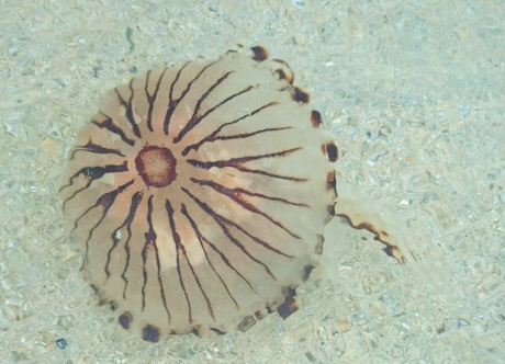 Image of Compass jellyfish swimming in clear sea water on beach