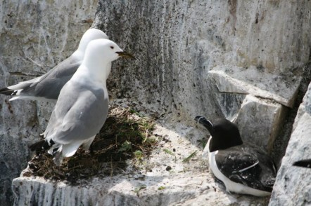 Image of kittiwakes-and-razorbill-sharing-nest-site-on-cliff-face