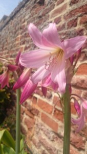 Image of pink-guernsey-lily flower-close-up in front of red brick wall
