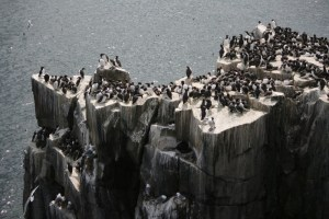precipitous-cliffs-covered-in-nesting-seabirds