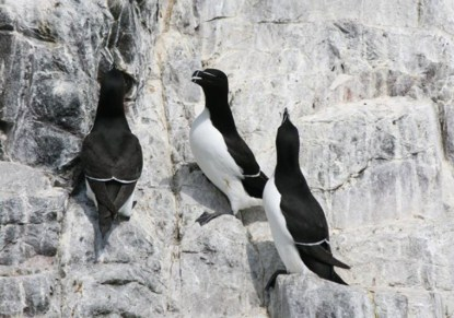Image of razorbills-and-guillemots-close-up-on-white-rock-wall-farne-islands