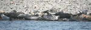 Image of grey-seals-basking-on-rocky-coastline