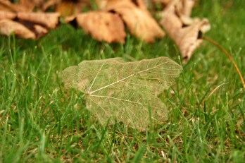 Image of sycamore-skeleton-leaf-on-grass-with-fallen-leaves-behind