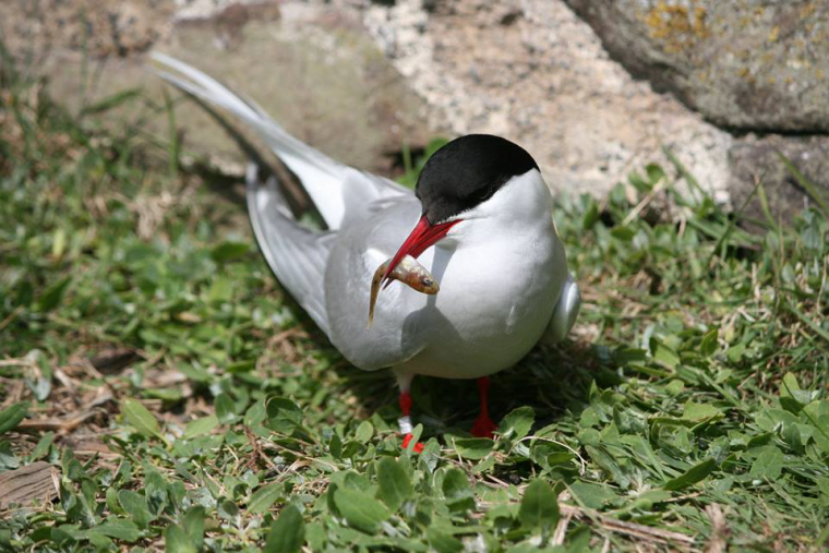 Image of Arctic-tern-on-ground-with-sand-eel-in-mouth-farne-islands