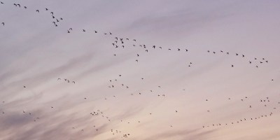 Image of twilight-sky-with-flock-of-birds in vague V-formation