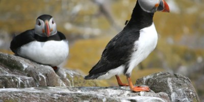 Image of two-puffins-on-rocks-one-standing-with-fly-on-back-one-lying-down