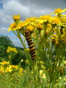 cinabar-caterpillar-on-ragwort-flower-close-up-pembrokeshire