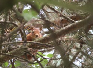 Image of red-squirrel-looking-down-at-camera-from-pine-tree
