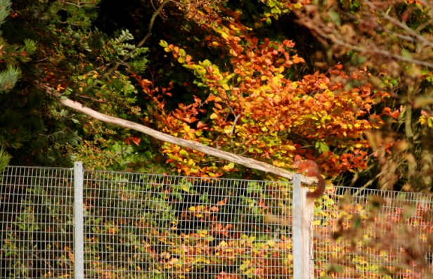 red-squirrel-sitting-on-fence-near-feeder-with-log-bridge-into-woods-behind