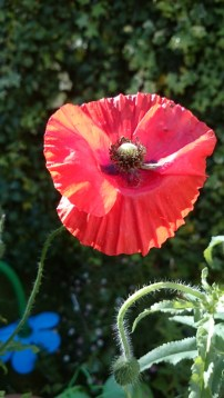 Image of wild-poppy-in-wheelbarrow