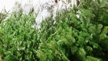 Image of nordman-firs-in-a-row-for-sale