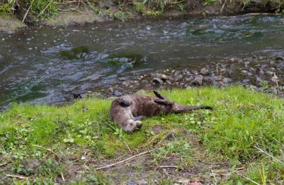 Image of Otter rolling on river bank
