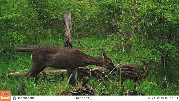Image of Roe deer and fawn in woods