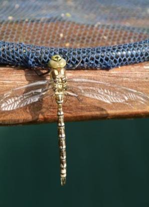 Image of Southern Hawker Dragonfly hanging out to dry