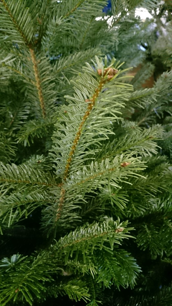 Nordman Fir branch close up