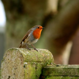 Image of robin-on-garden-fence-post