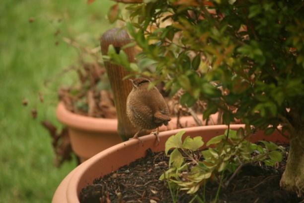 Image of wren-on-edge-of-flowerpot-in-garden