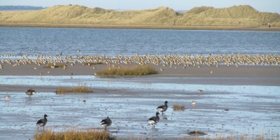 Image of Holy Island mud flat with grasses at front, 4 geese and flock of waders with sea & dunes behind