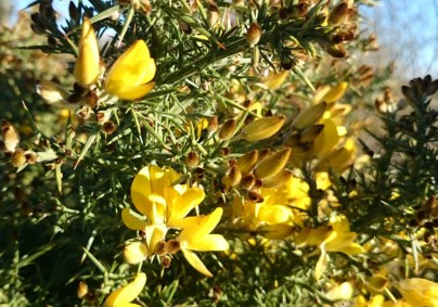 Image close-up-of-gorse-flowers