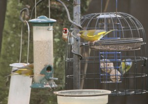 Image of greenfinch-and-goldfinch-on-bird-feeder