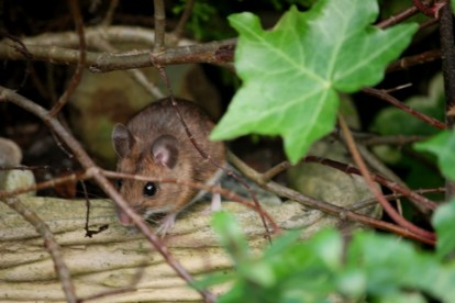 Image of wood-mouse-in-ivy-leaves