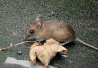 Image of wood-mouse-on-patio-with-sycamore-leaf