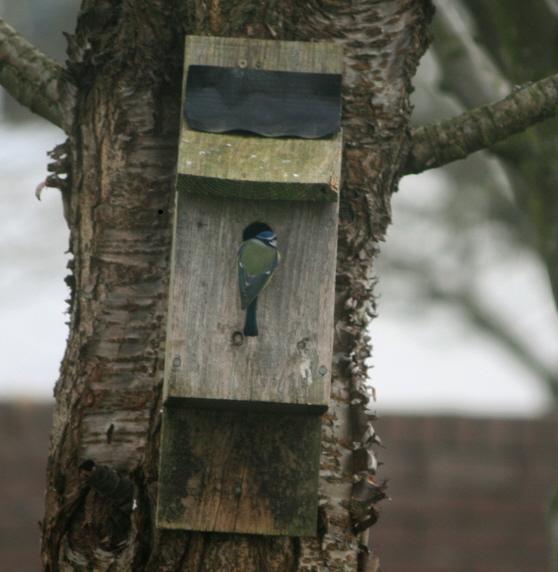 Image of bluetit-investigating-nestbox-on-tree-in-garden