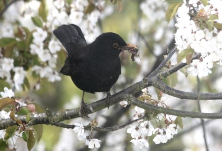male-blackbird-in-cherry-blossom-with-worms-in-beak
