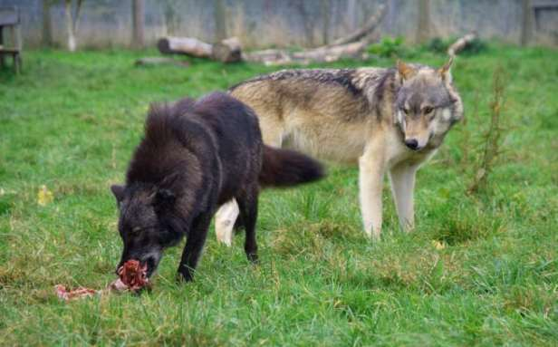 Image of black wolf eating meat with grey wolf waiting behind