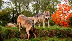 Image of two wolves on hilltop with autumn leaves in background